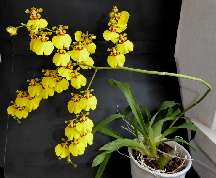 Oncidium Sweet Sugar  Mai 2015 (2).JPG