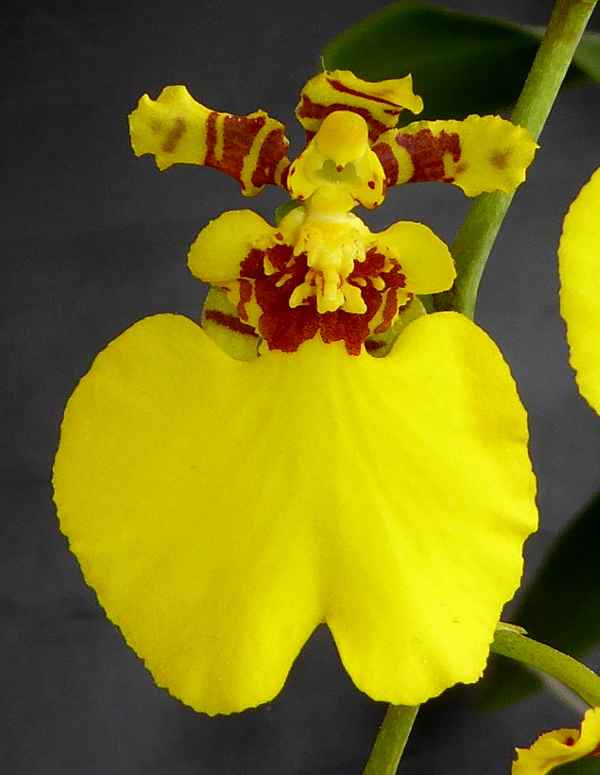 Oncidium Sweet Sugar  Mai 2015 (3).JPG