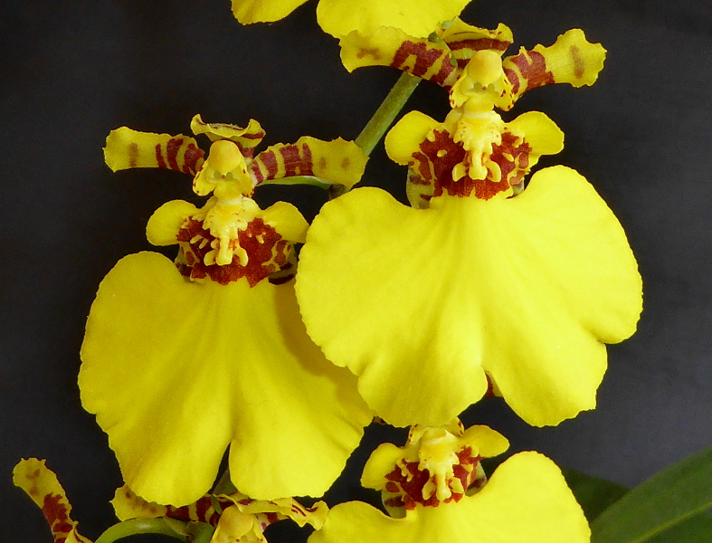Oncidium Sweet Sugar  Mai 2015 (4).JPG