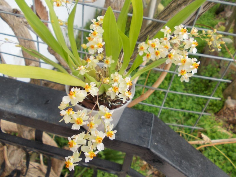 Oncidium Tiny Twinkle.JPG