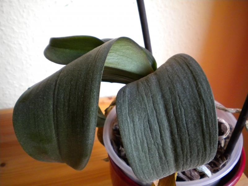 Weiche Blätter Und Vertrocknete Wurzeln Orchideenforum