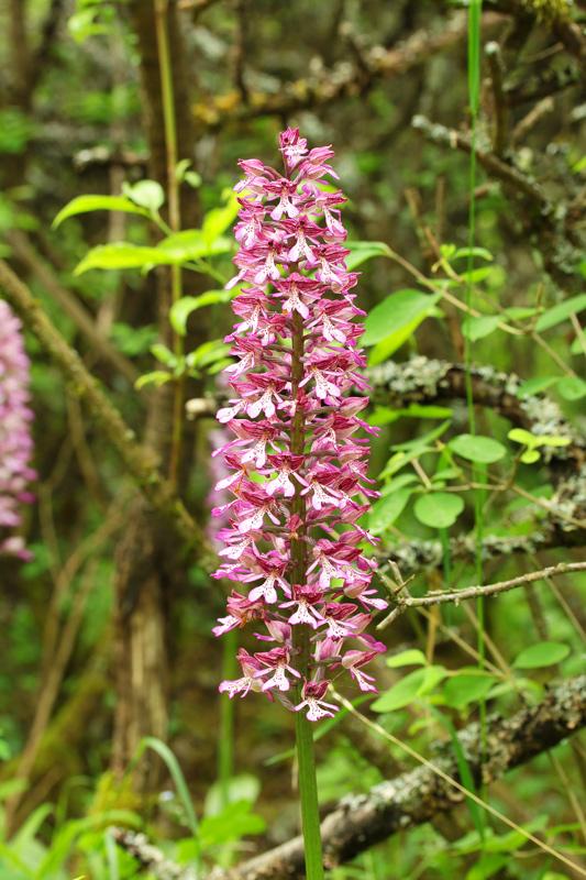 Orchis-militaris-x-purpurea.jpg