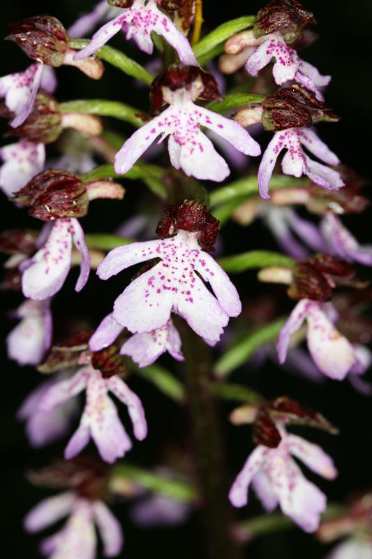 Orchis_purpurea.jpg