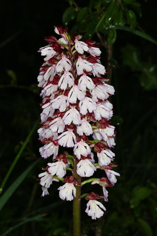 Orchis_purpurea2.jpg