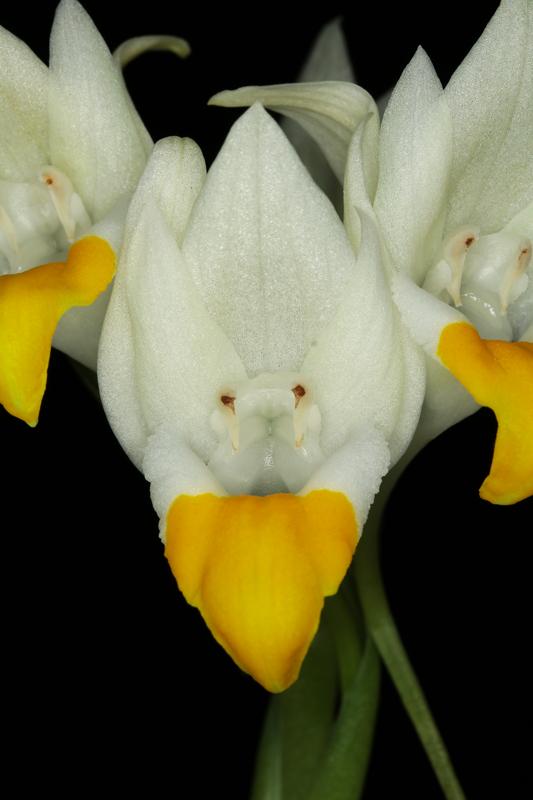 pecteilis-hawkesiana2.jpg