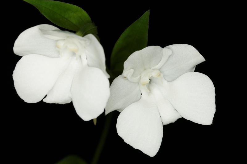 Pecteilis_cambodiana.jpg