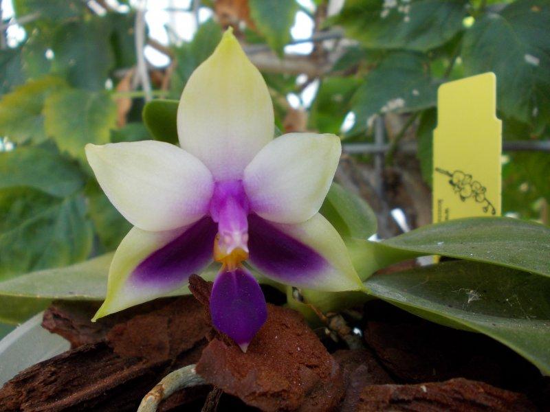 Phalaenopsis bellina coerulea (11.10.18).JPG