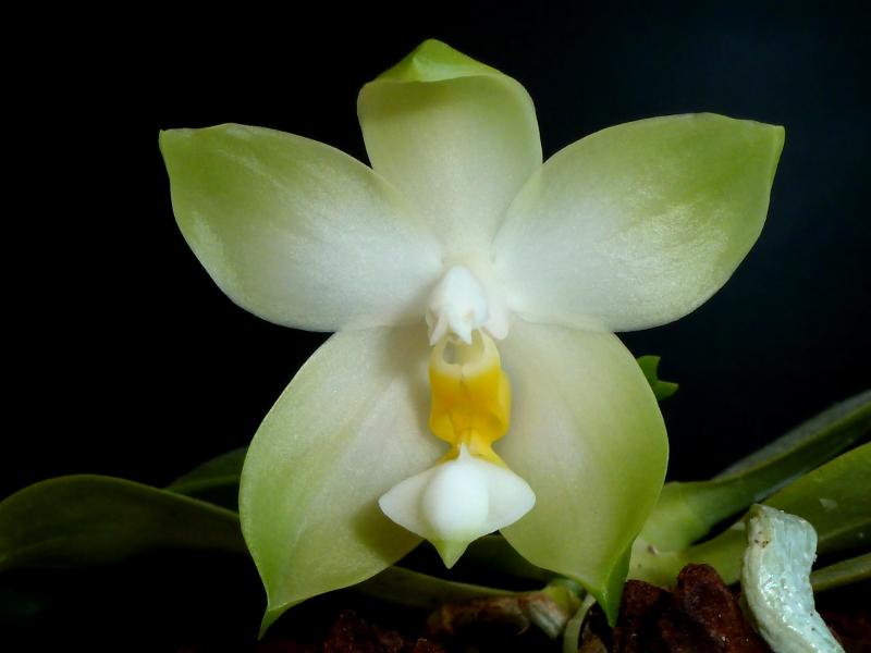 Phalaenopsis bellina f. alba Juli 2014 (2).JPG