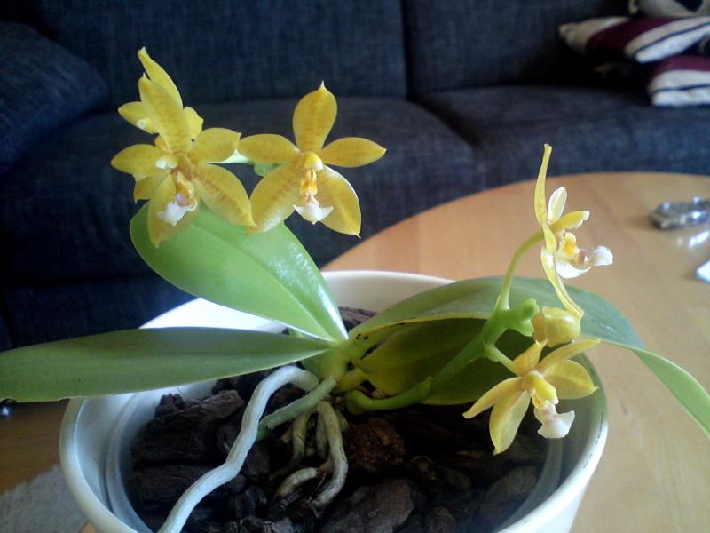 Phalaenopsis cornu-cervi alba x rofino (floresensis) Flores Moon 2013 (5) 800.JPG