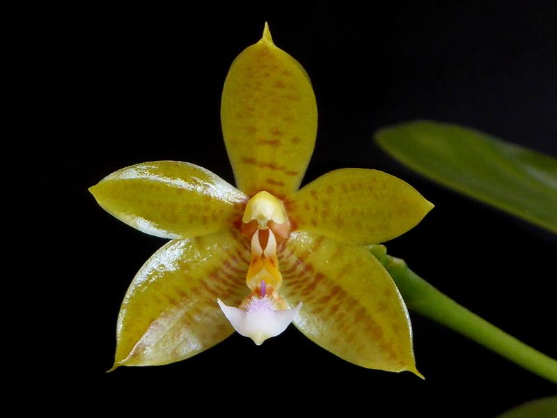 Phalaenopsis cornu-cervi alba x rofino (floresensis) Flores Moon Mai 2015 (2).JPG