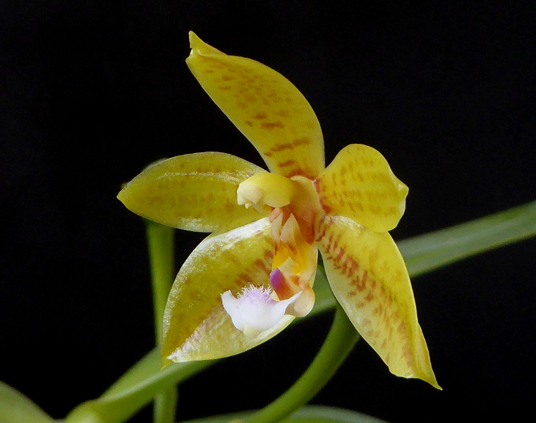 Phalaenopsis cornu-cervi alba x rofino (floresensis) Flores Moon Mai 2015 (4).JPG