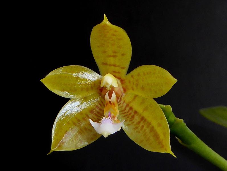 Phalaenopsis cornu-cervi alba x rofino (floresensis) Flores Moon Mai 2015.JPG