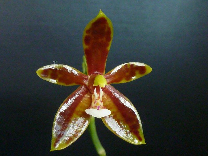 Phalaenopsis cornu-cervi Dark Red Juli 2014 (2).JPG