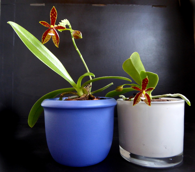 Phalaenopsis cornu-cervi Dark Red Juli 2015 800.JPG