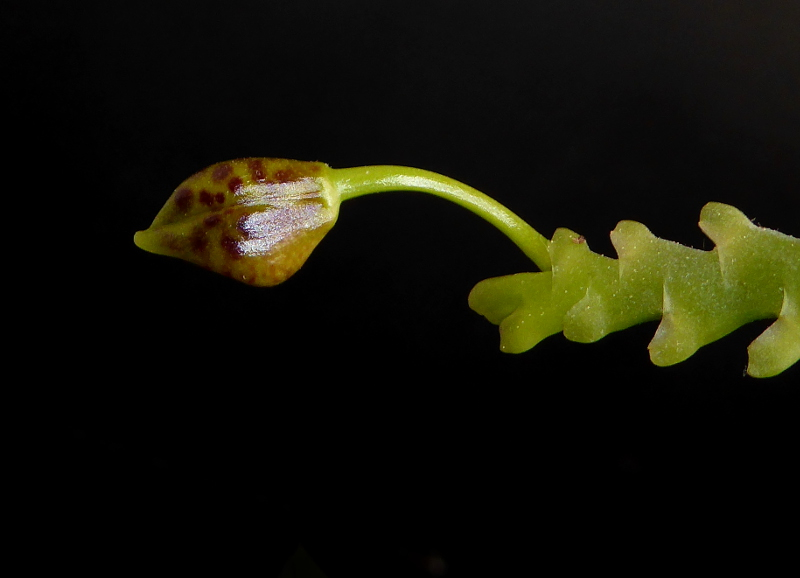 Phalaenopsis cornu-cervi Dark Red Juni 2015 (3).JPG
