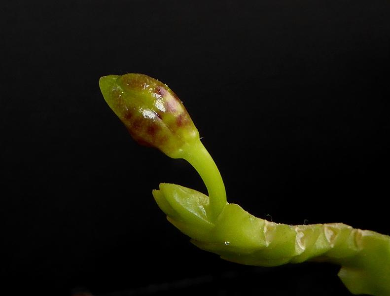 Phalaenopsis cornu-cervi f. chattaladae März 2015 (2).JPG
