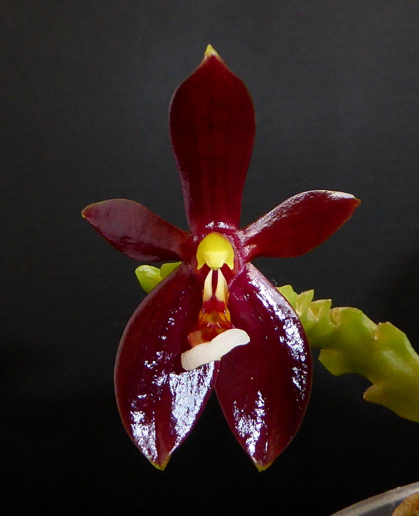 Phalaenopsis cornu-cervi f. chattaladae Mai 2015 (2).JPG