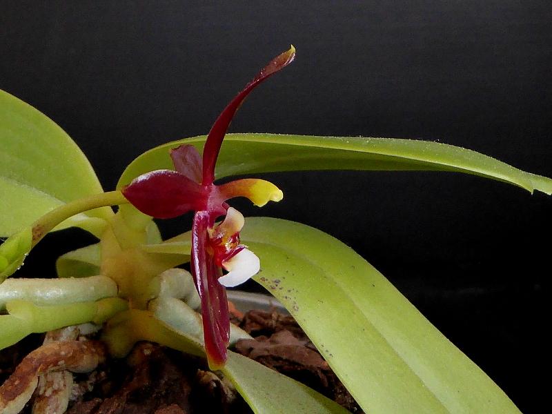 Phalaenopsis cornu-cervi f. chattaladae Mai 2015 (3).JPG