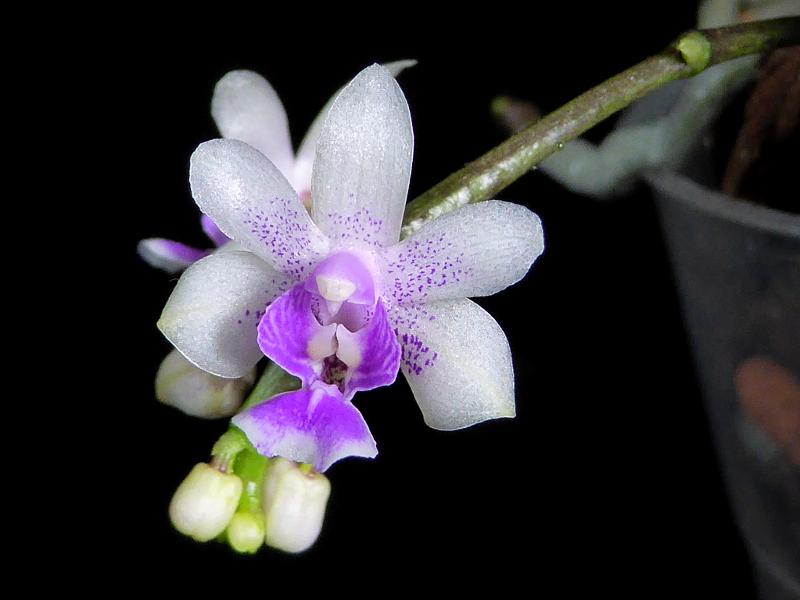 Phalaenopsis deliciosa Juli 2016 800.JPG