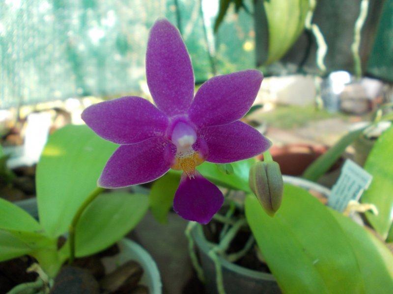 Phalaenopsis Equalacea (06.09.18).JPG