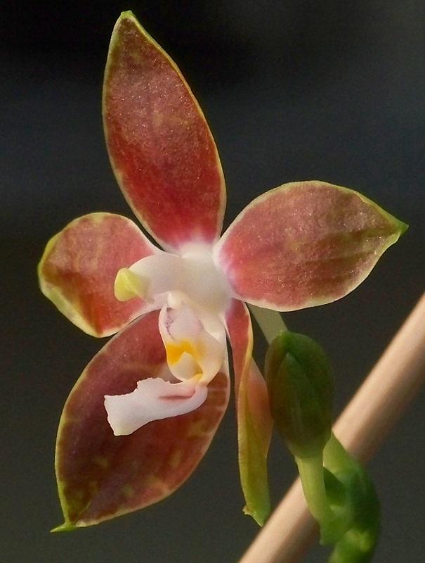 Phalaenopsis mariae 100_5222 2n800x600.jpg
