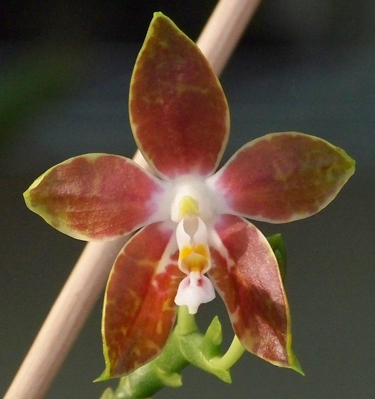 Phalaenopsis mariae 100_5223 2n800x600.jpg