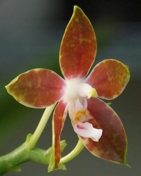 Phalaenopsis mariae 100_5227 2n800x600.jpg