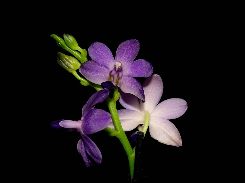 Phalaenopsis Purple Martin 2017-02.jpg