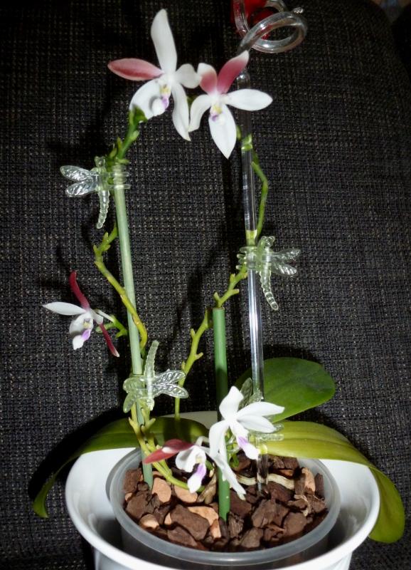 Phalaenopsis tetraspis C#1 Aug. 2014 (6).JPG