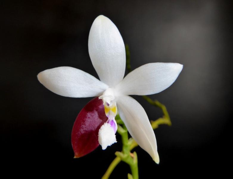 Phalaenopsis tetraspis C#1 Mai 2015.JPG