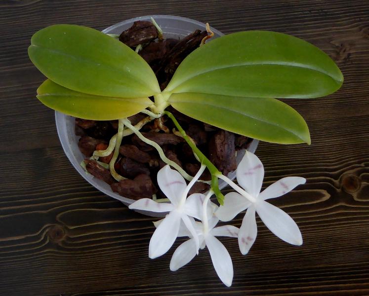 Phalaenopsis tetraspis  Mai 2015 Habitus.JPG