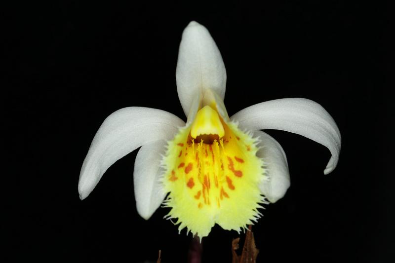 Pleione_grandiflora.jpg
