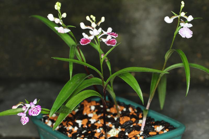 Ponerorchis_graminifolia.jpg