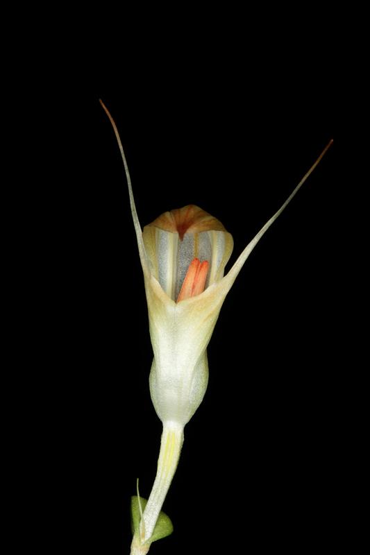 Pterostylis-x-furcillata.jpg