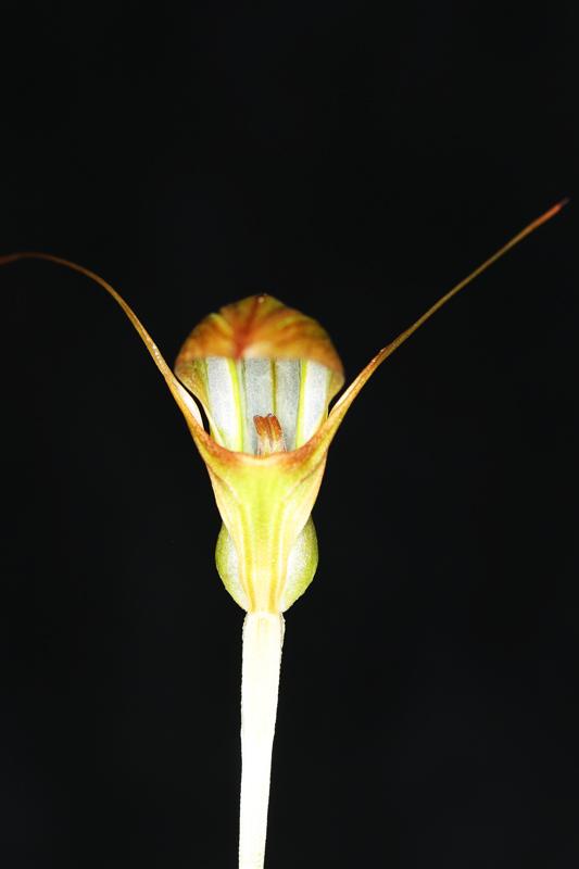 Pterostylis_X_furcillata2.jpg
