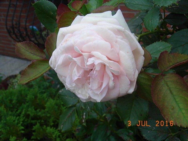 rosen charm.jpg
