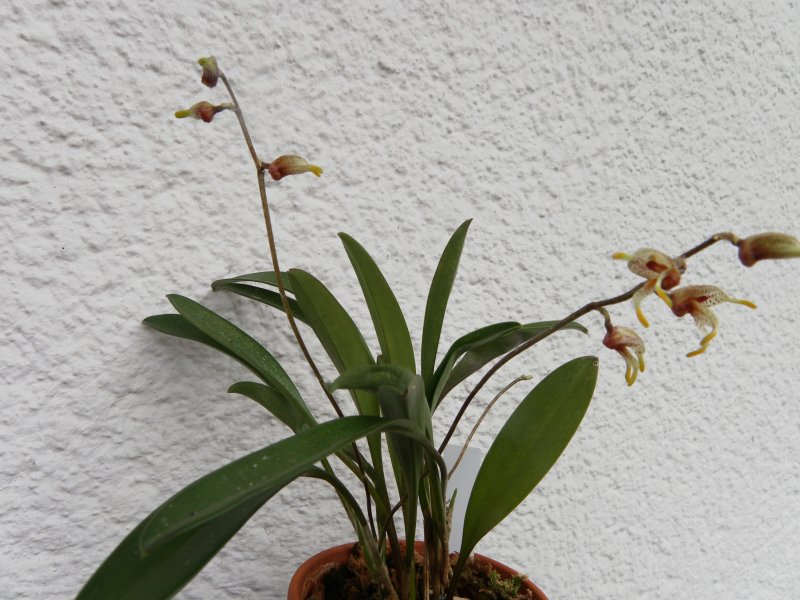 was bl ht im juli 2016 naturformen orchideenforum. Black Bedroom Furniture Sets. Home Design Ideas