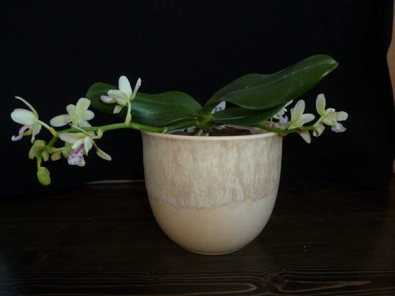 Sedirea japonica April 2014 (5).JPG