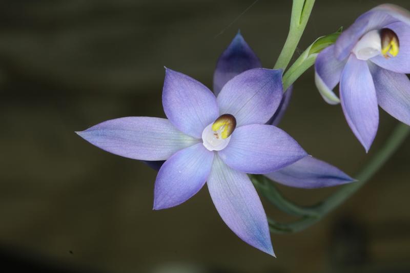 Telymitra-dentata-x-glaucophylla3.jpg