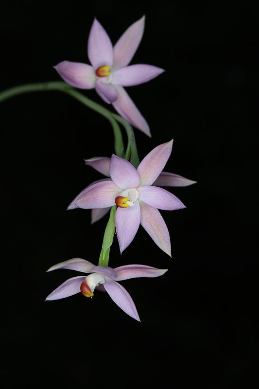 Thelymitra-dentata-x-glaucophylla2w.jpg