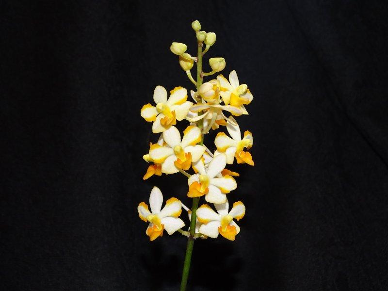 Vandaenopsis Prapin 2021.JPG