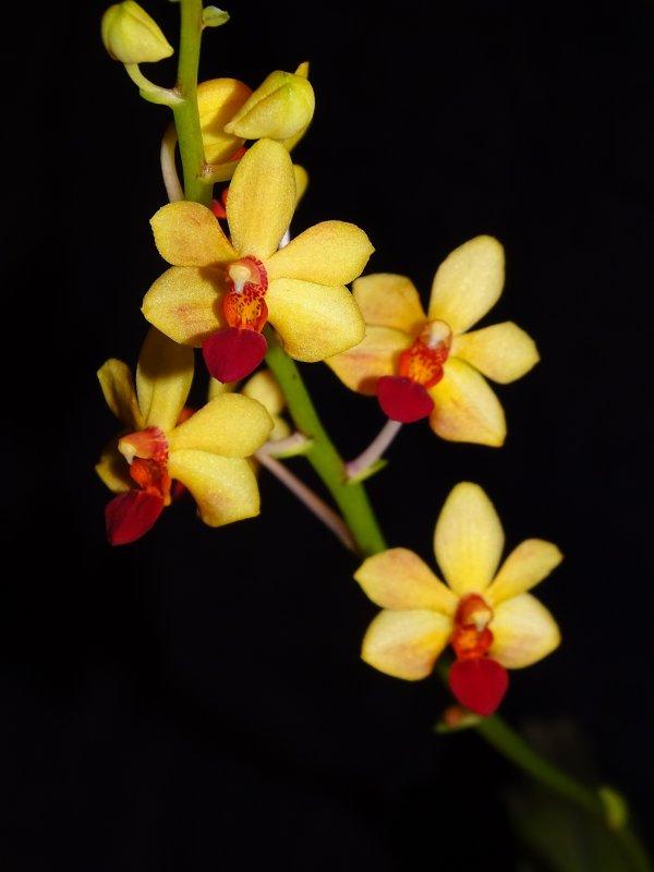 Vandaenopsis Yih-Cheng Amanda 2018-2.JPG