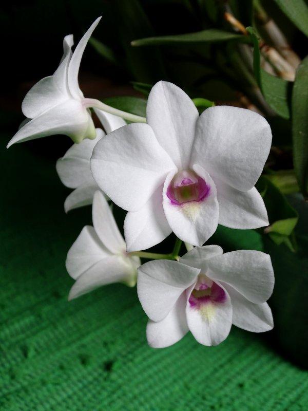 weisses Dendro phalaenopsis 2017.JPG