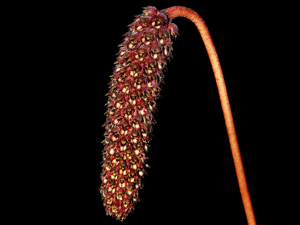 Bulbophyllum coniferum