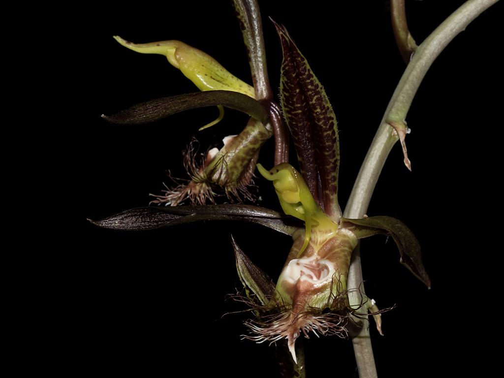 Resultado de imagem para Catasetum saccatum
