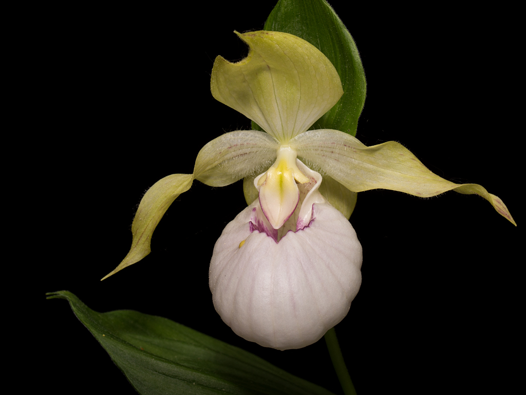 Cypripedium Beatrix in Topfkultur