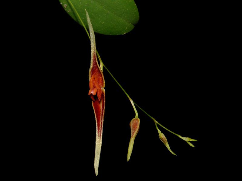 Lepanthes ionoptera