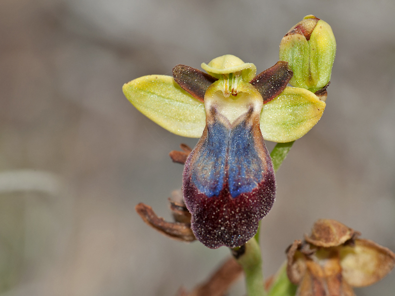 Ophrys iricolor